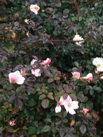 Fugacious Rose of Fall