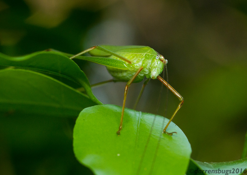 A well-camouflaged katydid (family Tettigoniidae) sits on a leaf in Chaing Mai, Thailand.