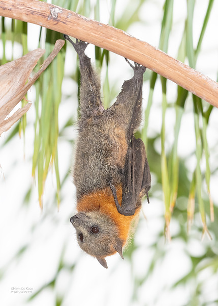 Grey-headed Flying Fox, Nerang, QLD, Nov 2019-4.jpg