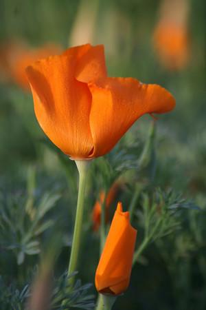 Agoura Poppies 04/11/07
