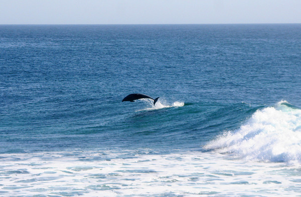 e - Dolphin surfing-Government Point.jpg