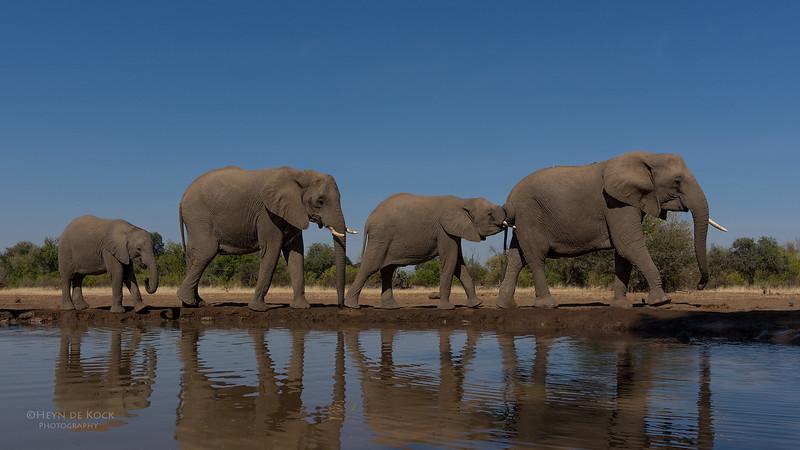 African Elephant, Mashatu GR, Botswana, May 2017-44.jpg