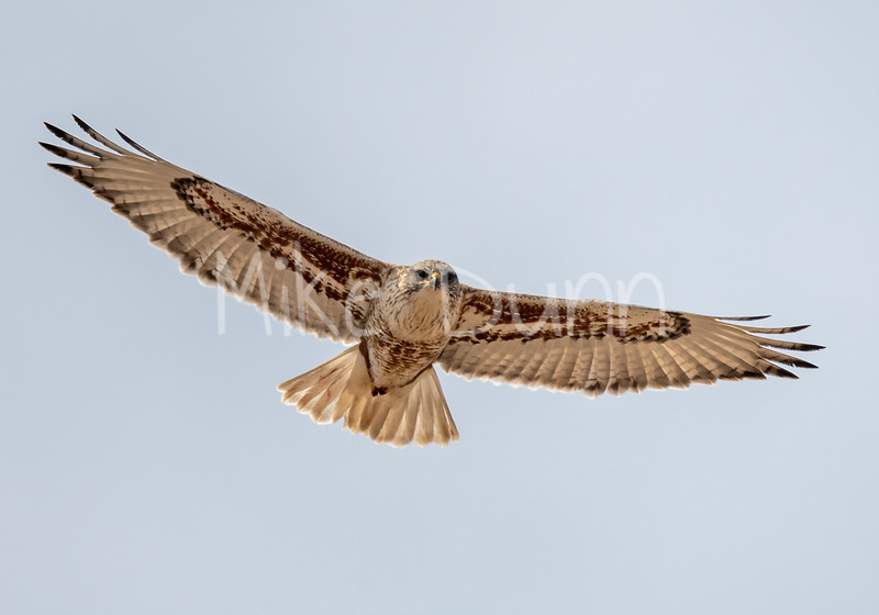 Ferruginous Hawk-145