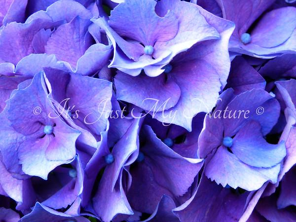 Violet & Blue Hydrangea