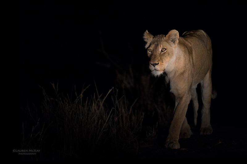 African Lion, Sabi Sands (EP), SA, Sept 2015-25.jpg