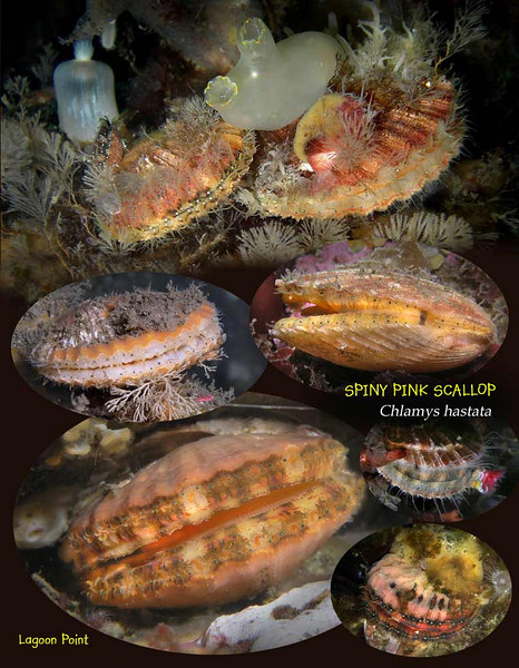 Spiny pink scallop 2 S.jpg