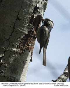 MountainChickadee11031.jpg