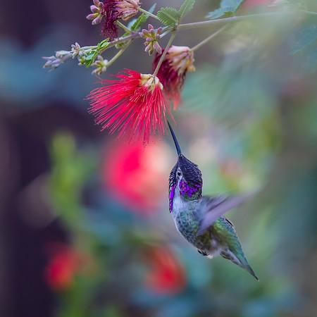 Hummingbirds on Canvas