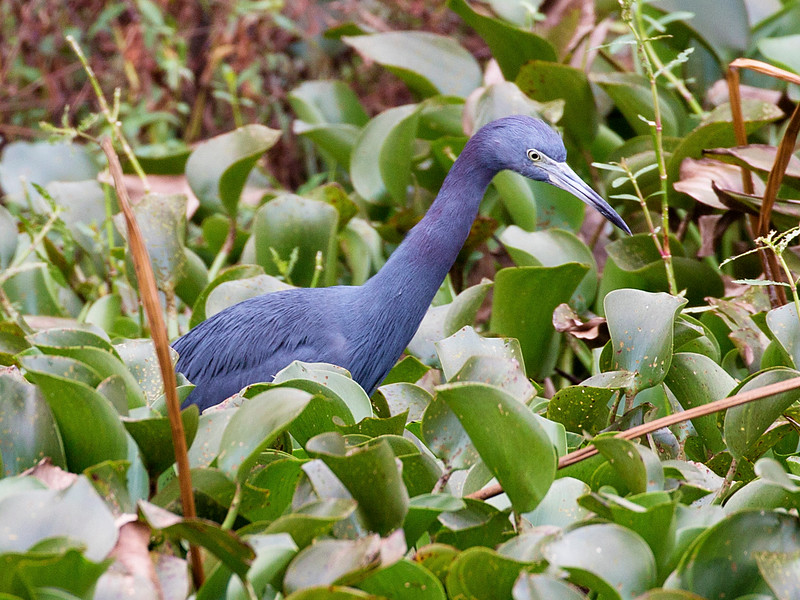 This Little Blue Heron is hunting in the swamp greenery.