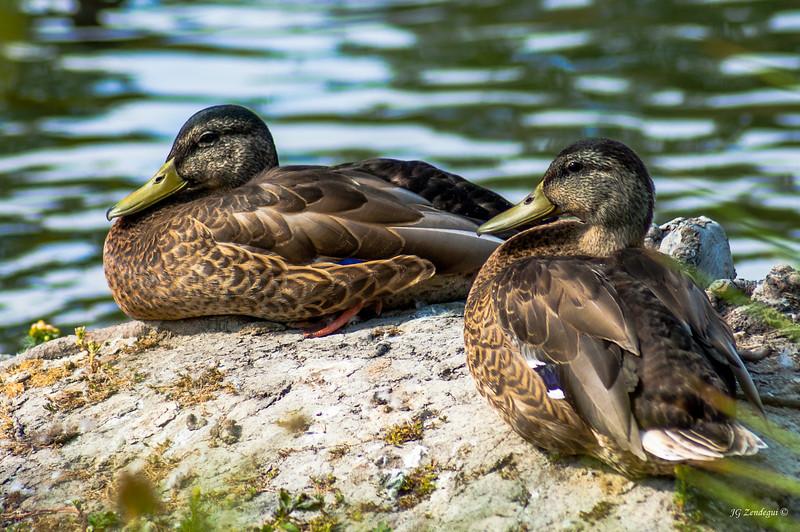 Ducks Sunning