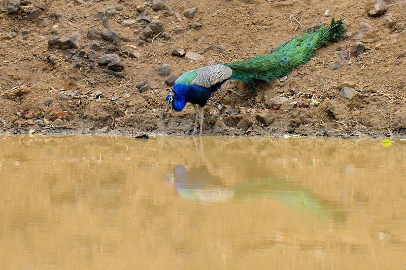 Vanity-Peacock-Tadoba.jpg