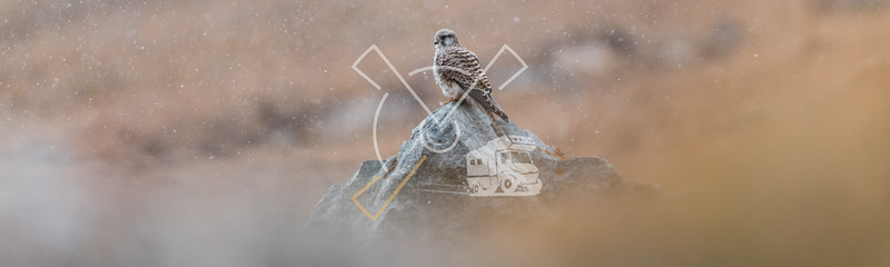Common kestrel (Falco tinnunculus) female sitting on a rock in th snow.