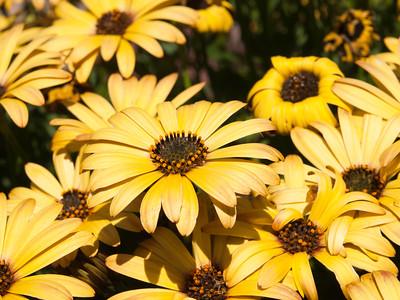 Osteospermum - Serenity Golden