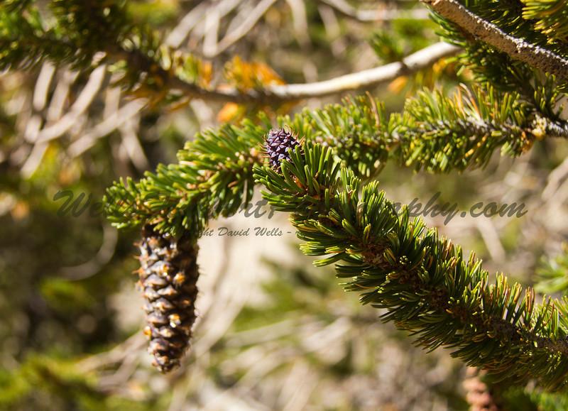 Bristlecone pine cones