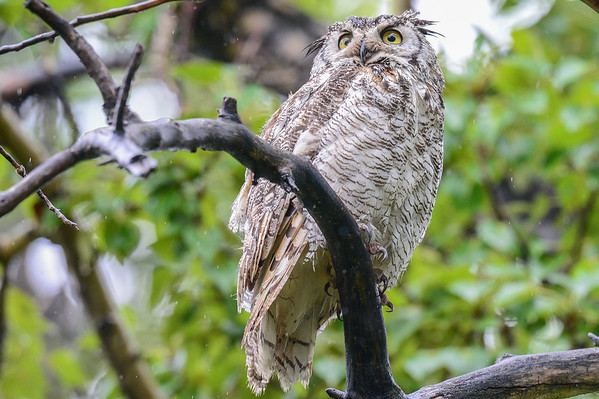5 2013 May 29 My Old Friend Great Horned Owl In Another Rain Storm