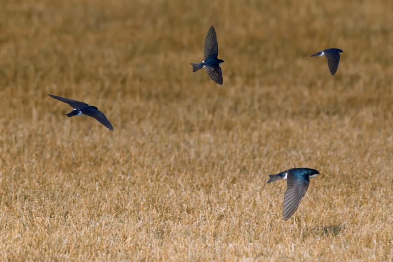 Swallows-a-Plenty