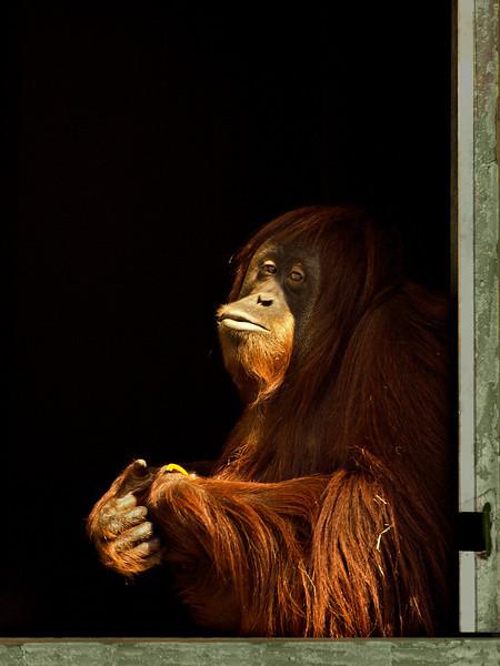 Orangutan in a window.