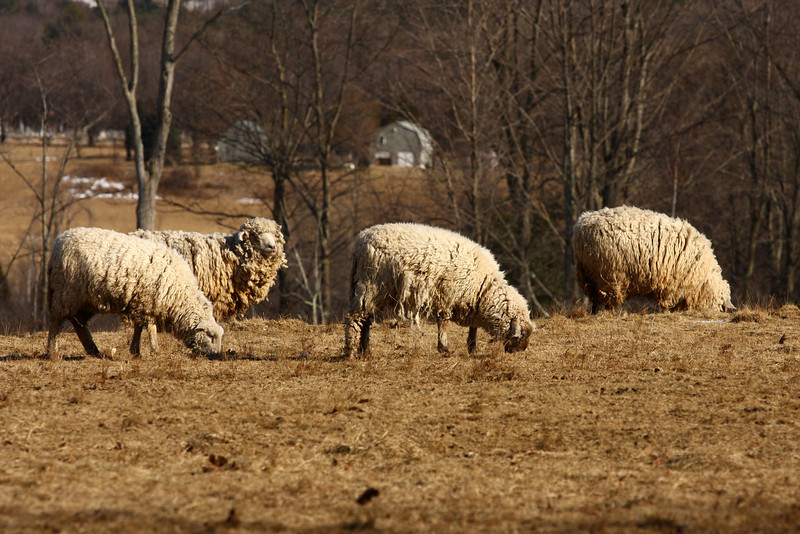 The Source of The Wool ! Near Brandon VT-they have not been sheared for quite awhile !