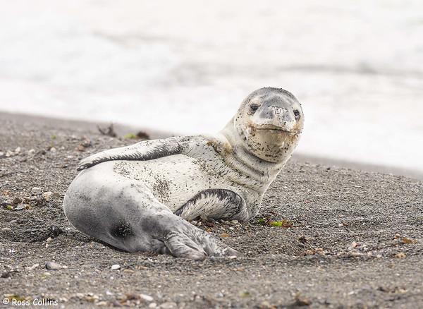 Leopard Seal at Oruaiti Reserve 2021
