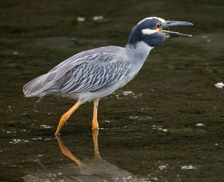Yellow-crowned Night-Heron  San Diego River 2011 07 02-7.CR2