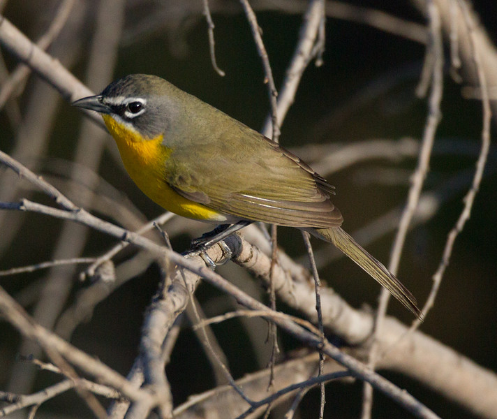 Yellow-breasted Chat  San Luis Rey Oceanside 2015 04 02-2.CR2