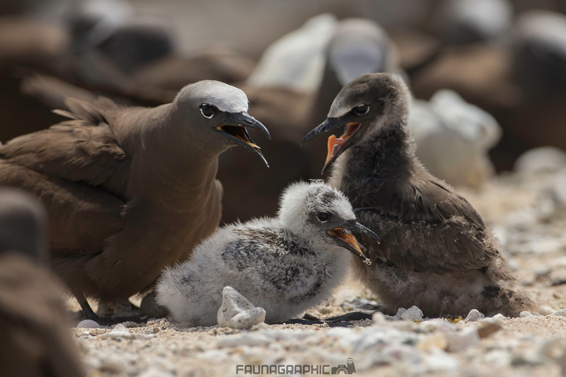 Common Noddy with chicks