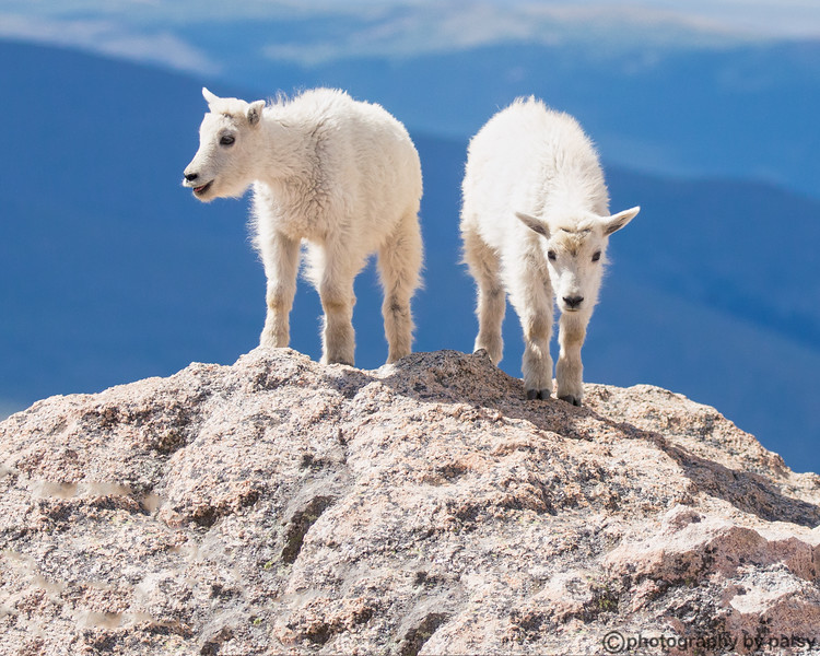 HOOVES - MOUNTAIL GOATS