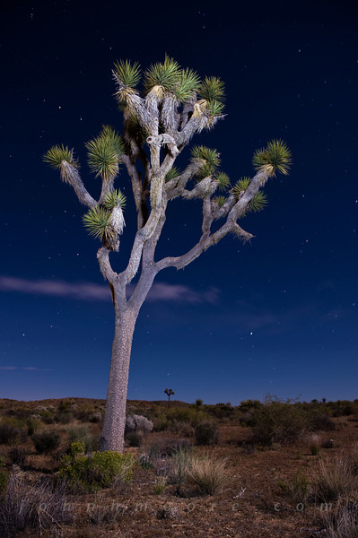 A Joshua Tree at night