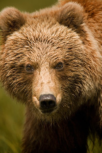BROWN BEARS OF KATMAI NATIONAL PARK (UPDATED SEPT/2012)