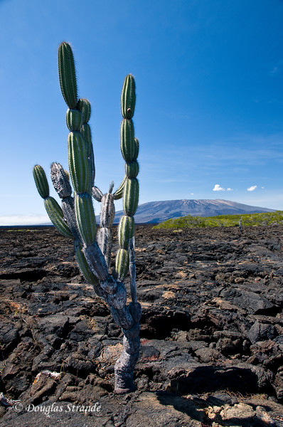 Cactus in a field of lava on Punta Moreno, Isabela Island