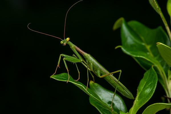 Miomantis caffra - South African mantis