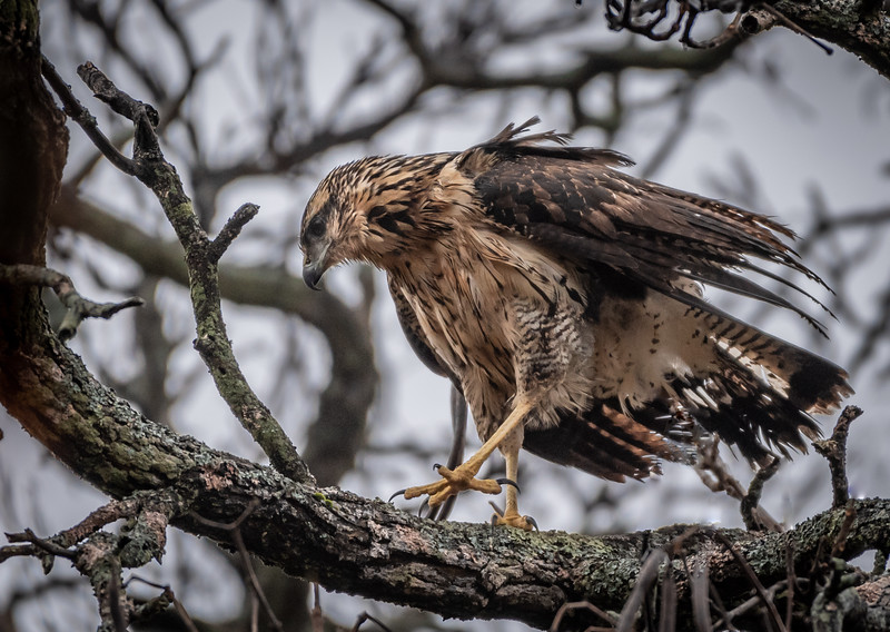 Great Black Hawk walking branch