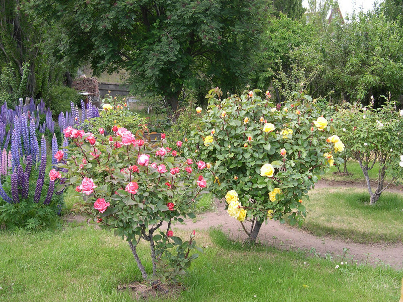 How is that for rose bushes?