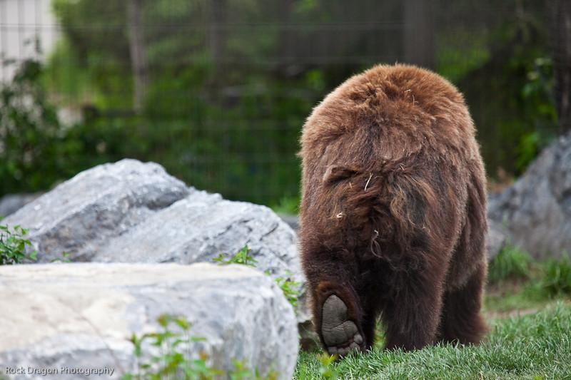 Grizzly Bear, Calgary Zoo
