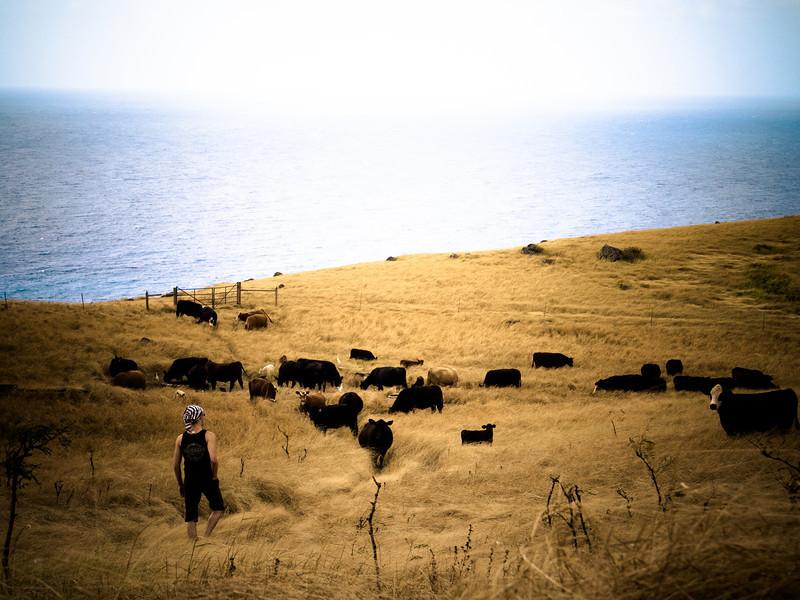 hana drive cows mika.jpg