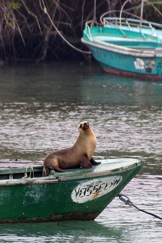 Sea lion in Veurto Villamil bay