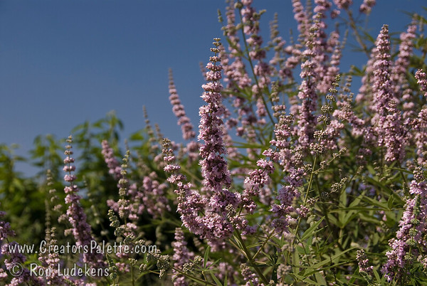Vitex agnus-castus 'Cooke's Pink' - Chaste Tree