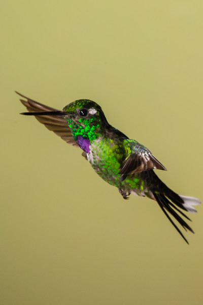 Purple-bibbed Whitetip - Record - Tandayapa Lodge, Quito, Ecuador