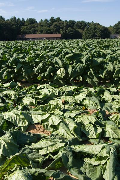 Connecticut+Tobacco+Fields+042-1050658802-O.jpg