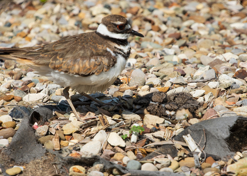 Killdeer-hatchling-parent-Lowes6.jpg