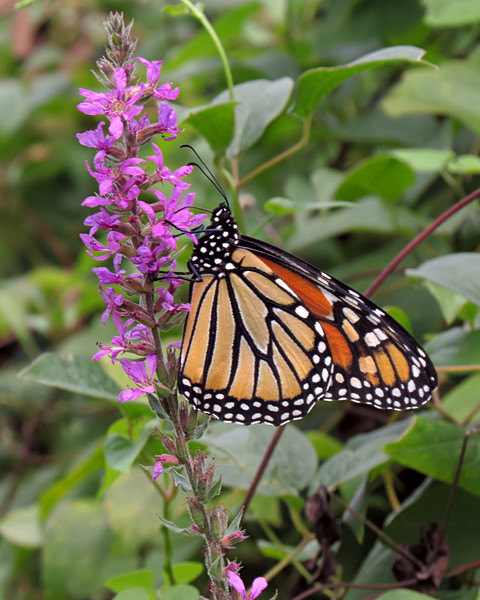 sx50_butterfly_monarch_flora_1110.jpg