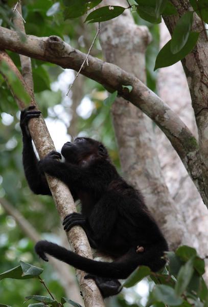 costa_rica_howler_monkey_8.JPG