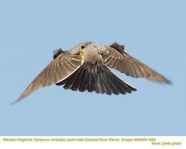 WesternKingbirdsM1626.jpg