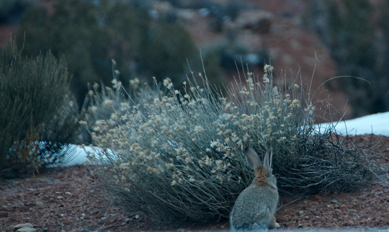 Hare in Arches NP