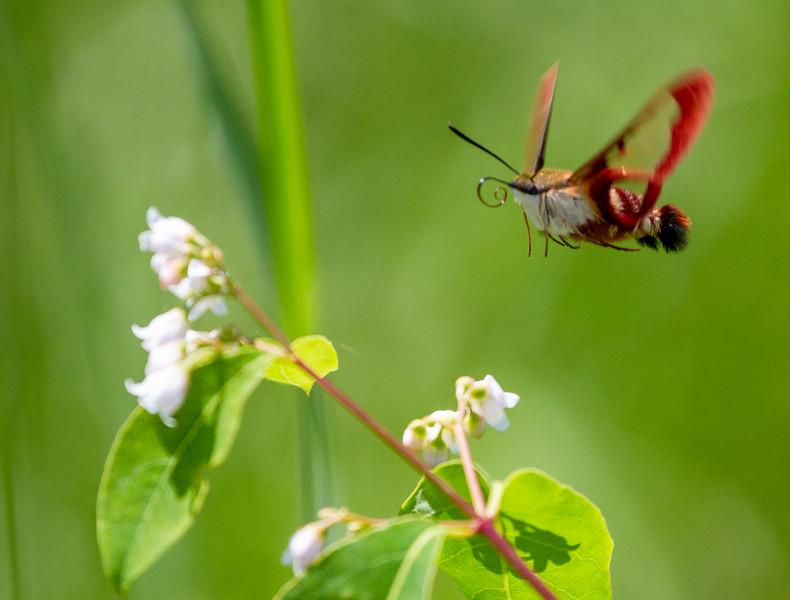 Hemaris thysbe Hummingbird Moth butterflying with Parker Backstrom and Holly Nichols Lake Road Sax-Zim Bog MN  IMG_0089.jpg
