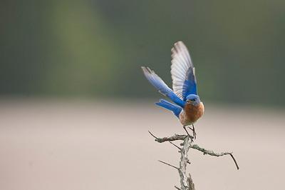 Cayuga Birds