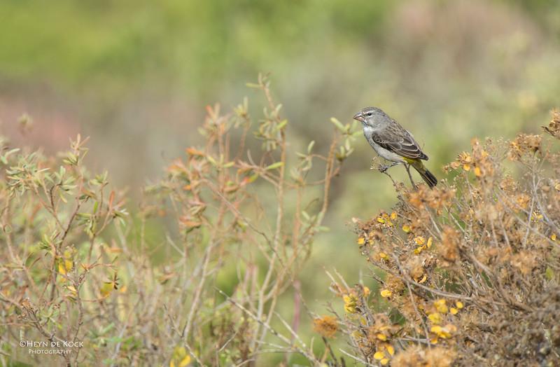 White-throated Canary, West Coast NP, WC, SA, Jan 2014.jpg