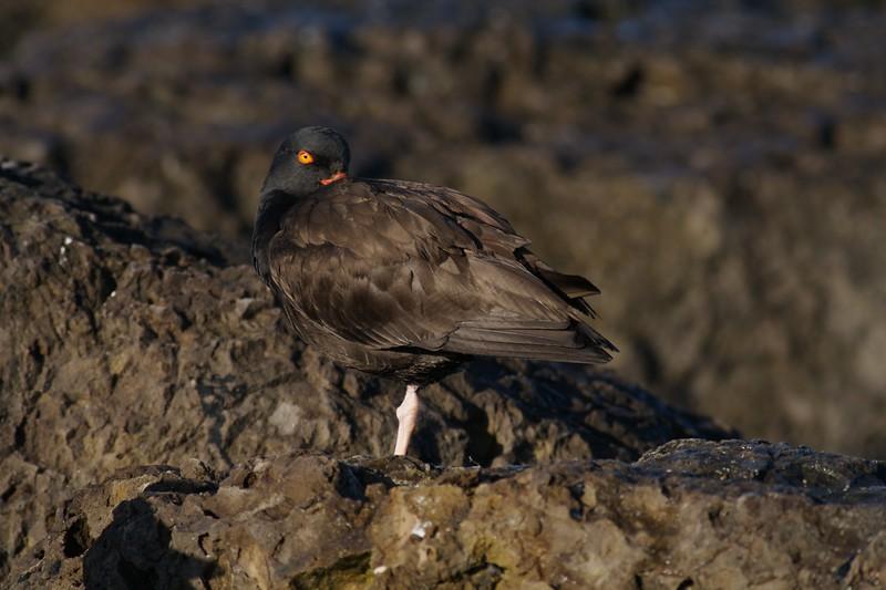 Black Oystercatcher [March; Ventura, California]