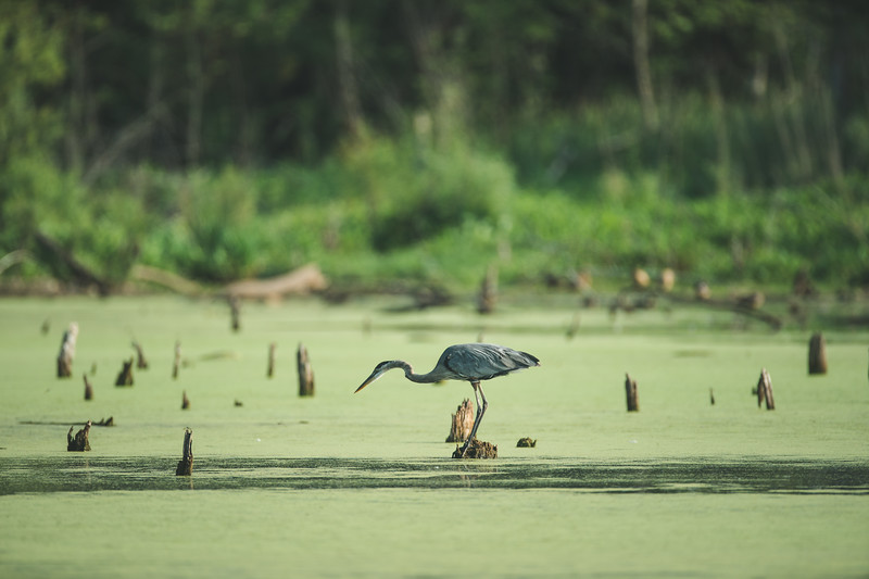 A great blue heron fishes at the Celery Bog in West Lafayette, Indiana