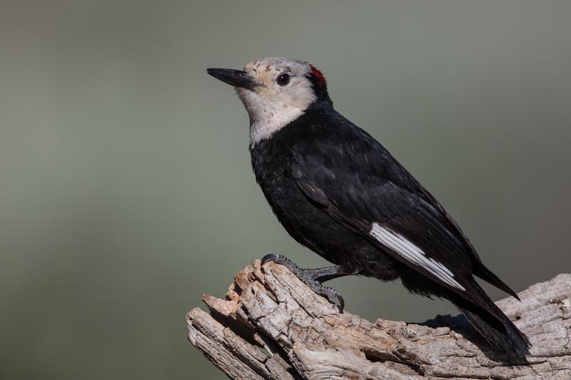 White-headed Woodpecker - OR, USA